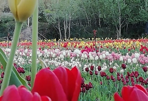 I tulipani di Lu